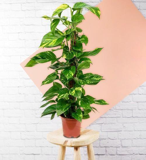 Devils Ivy indoor plant low light