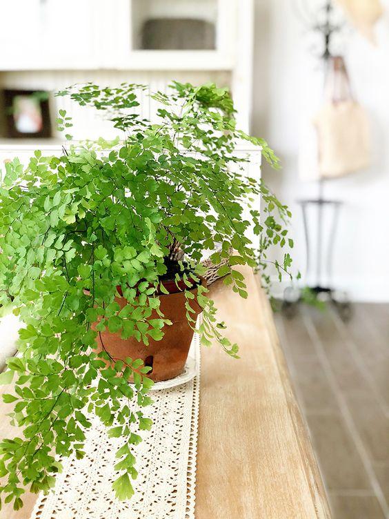 Maidenhair Fern indoor low light plant