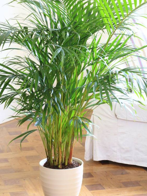 Parlour Palm low light indoor plant