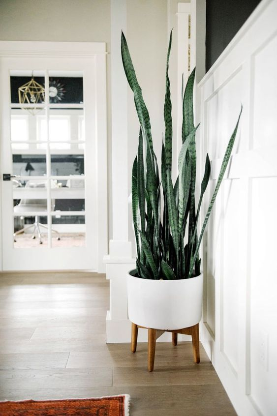 snake plant could be toxic