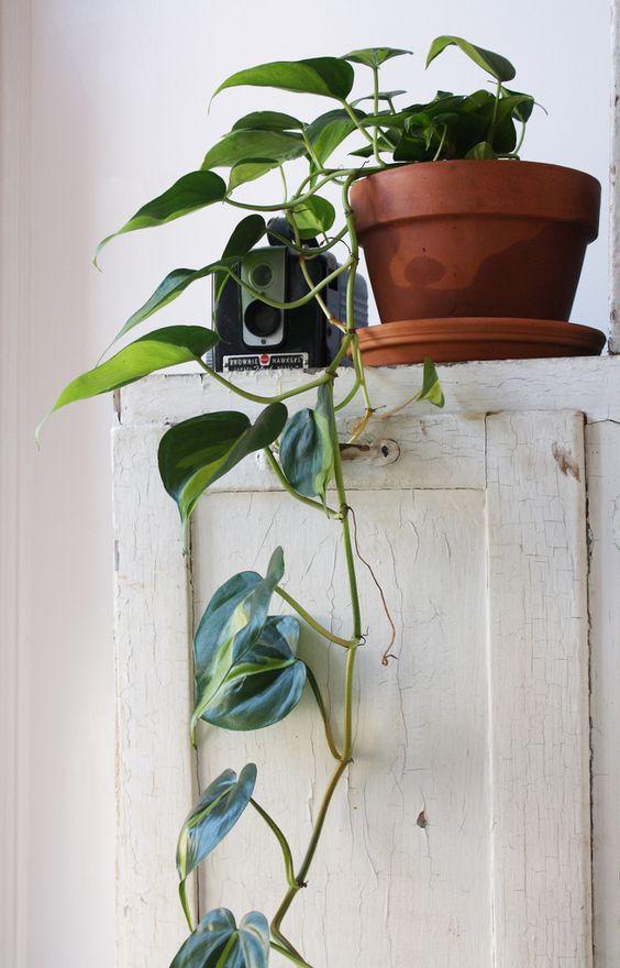 Devils ivy indoor plants