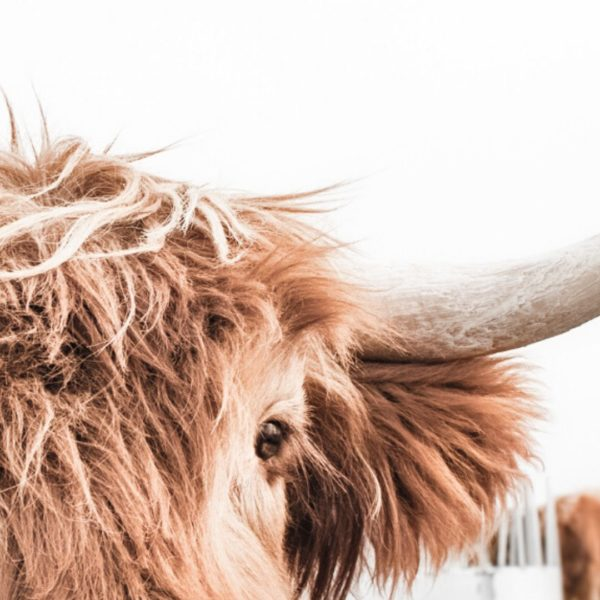 Highland Cow and Lama Set Free Prints