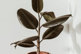 how to grow a rubber plant