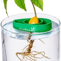 Grown Your Own Avocado Tree
